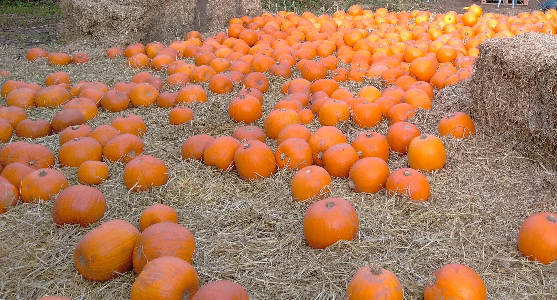 york maze halloween (5)