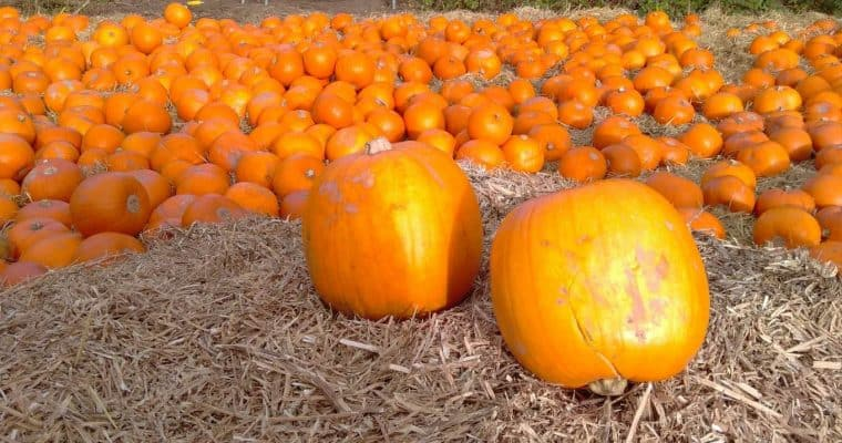 Looking for a Pumpkin Patch in Yorkshire? Pick your own Pumpkins!