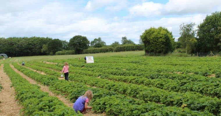 Best Places to go Strawberry Picking Yorkshire – 2019