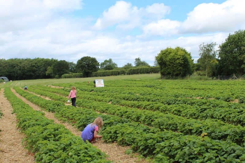 Best Places to go Strawberry Picking Yorkshire – 2020