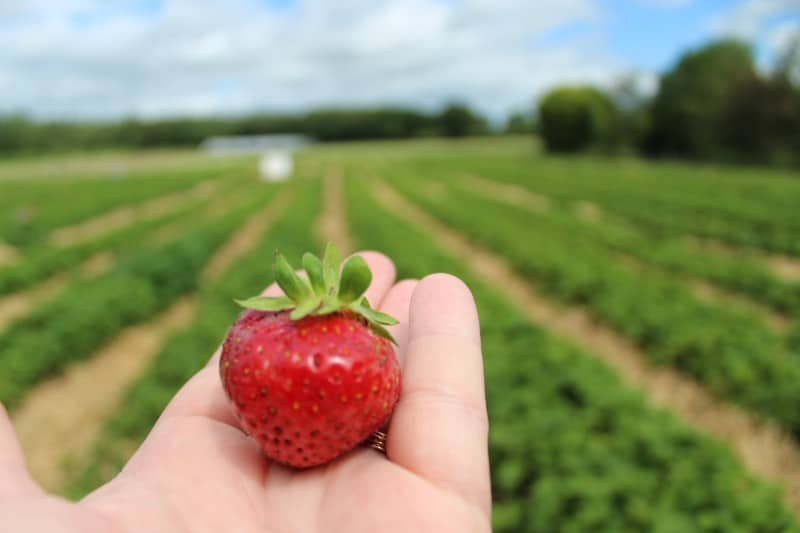 Strawberry Picking Yorkshire