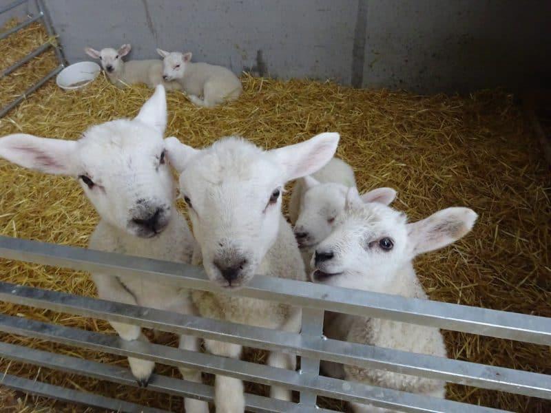Minskip Lambs
