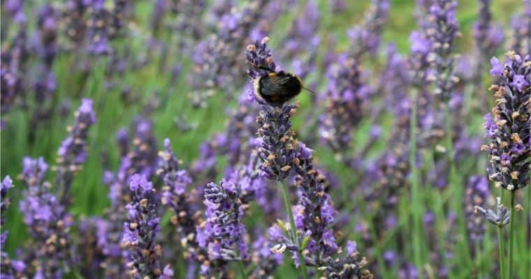 A Family Day Out At Wolds Way Lavender
