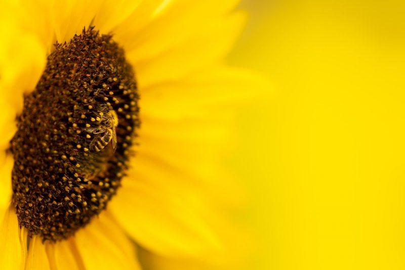 pyo sunflowers yorkshire